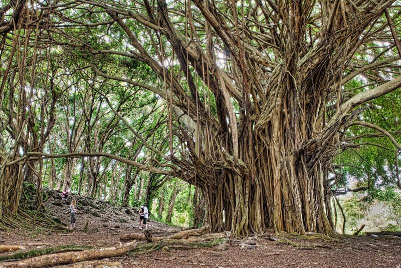 ancient-banyan-tree-big-island-hawaii