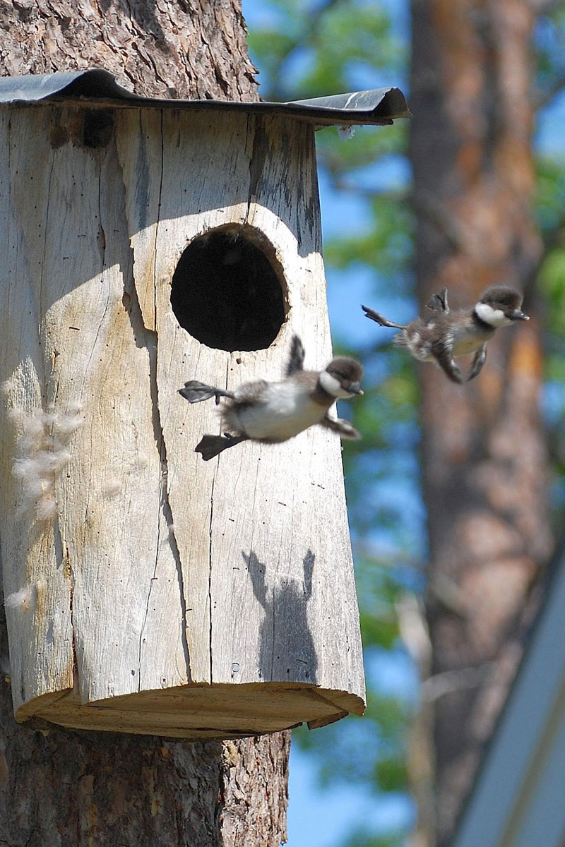 baby-birds-first-fly