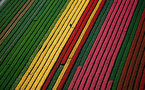 colorful tulip field in amsterdam