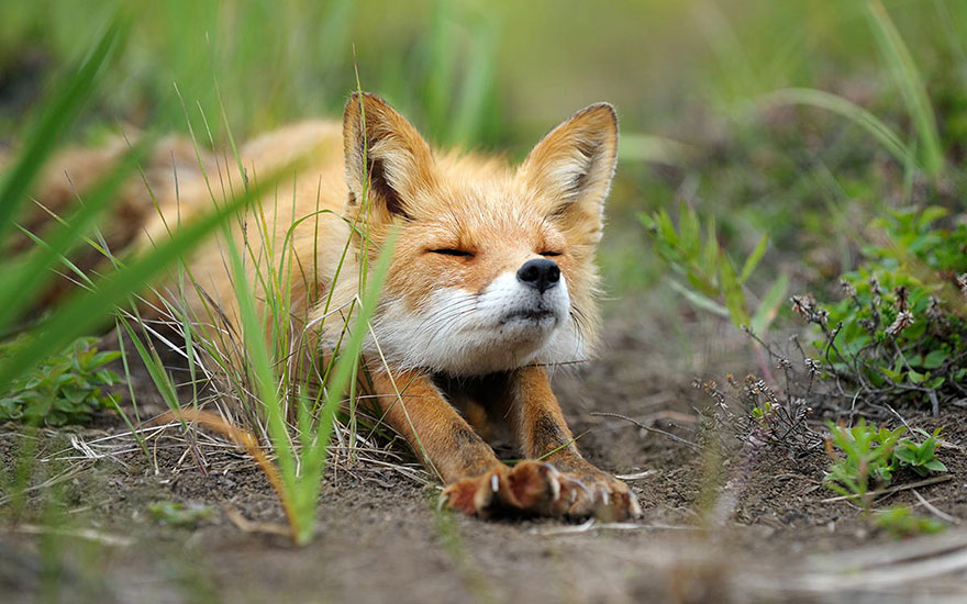 beautiful-fox-photos-10