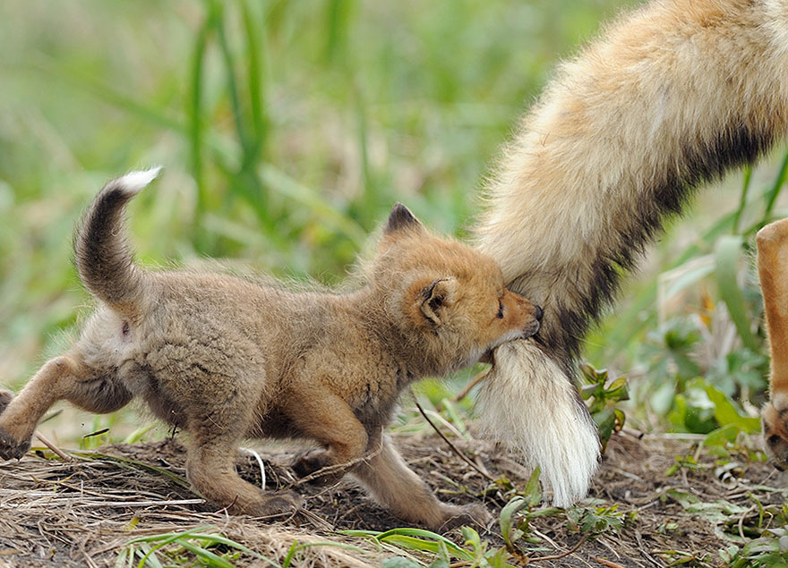 beautiful-fox-photos-11
