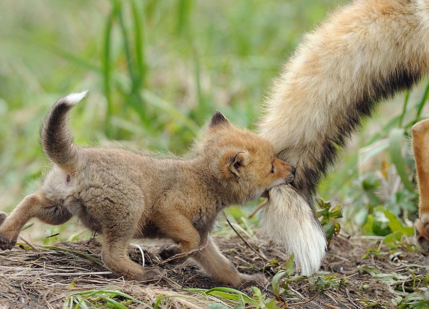 beautiful-fox-photos-11