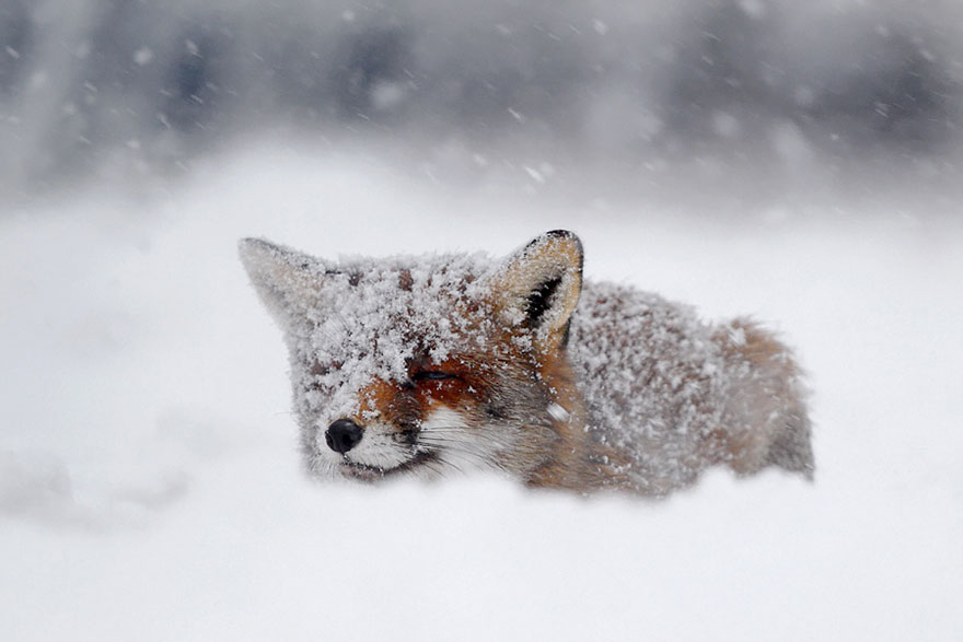 beautiful-fox-photos-12
