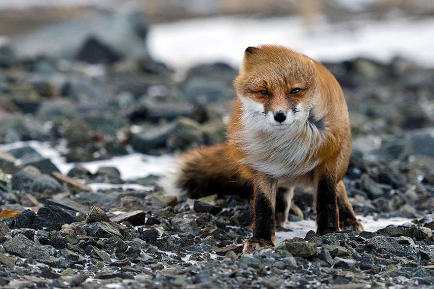 beautiful-fox-photos-15