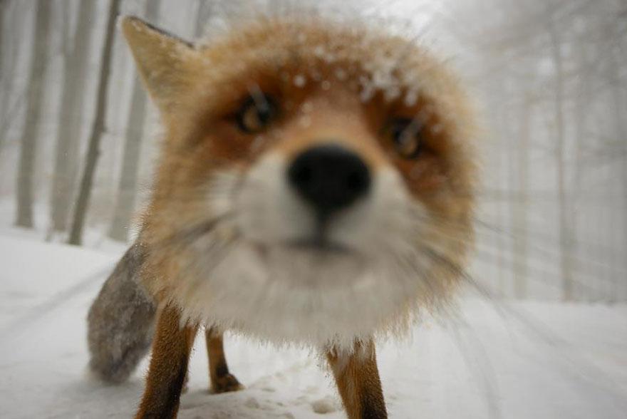 beautiful-fox-photos-17
