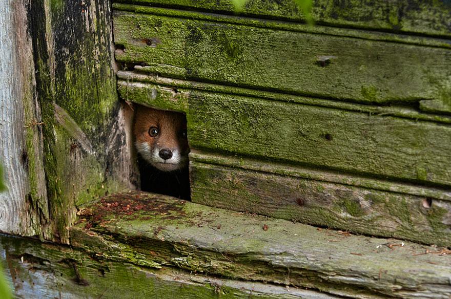 beautiful-fox-photos-2