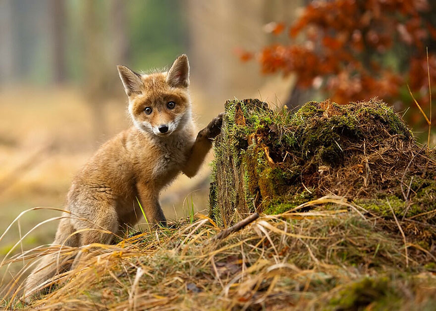 beautiful-fox-photos-20