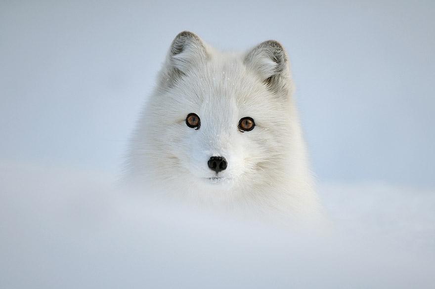 beautiful-fox-photos-21