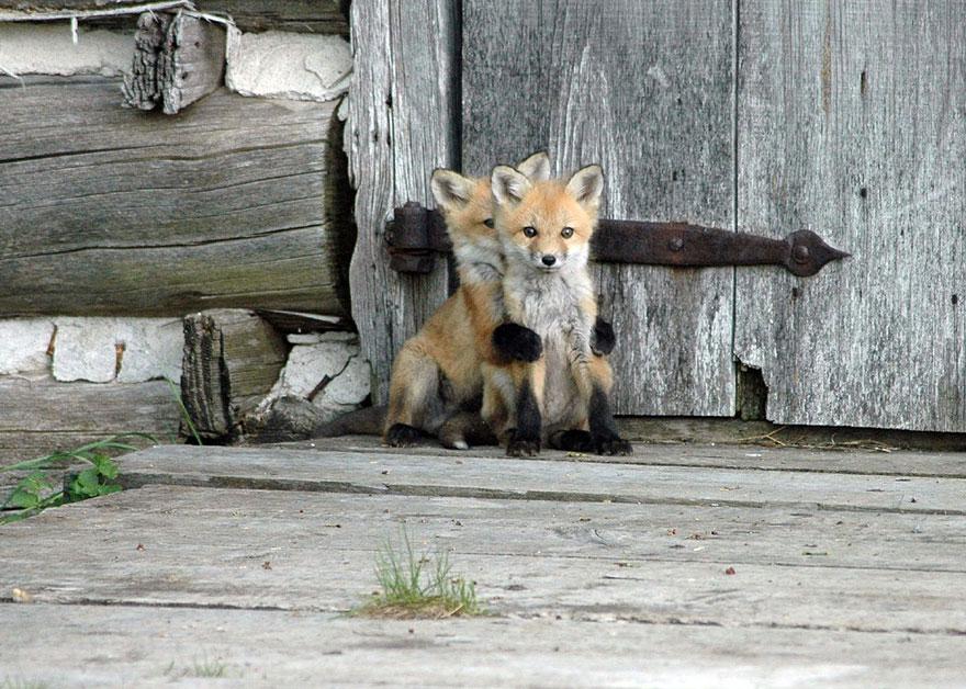 beautiful-fox-photos-4