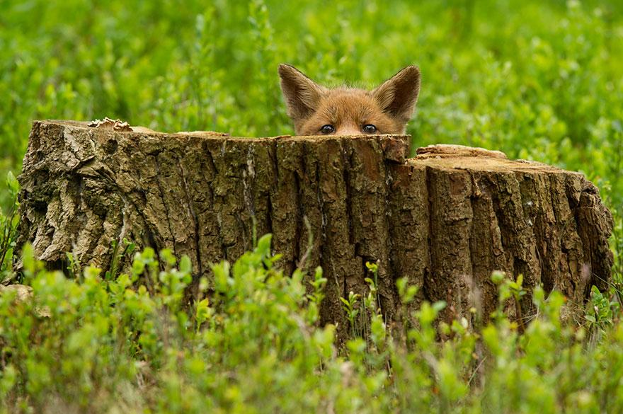 beautiful-fox-photos-5