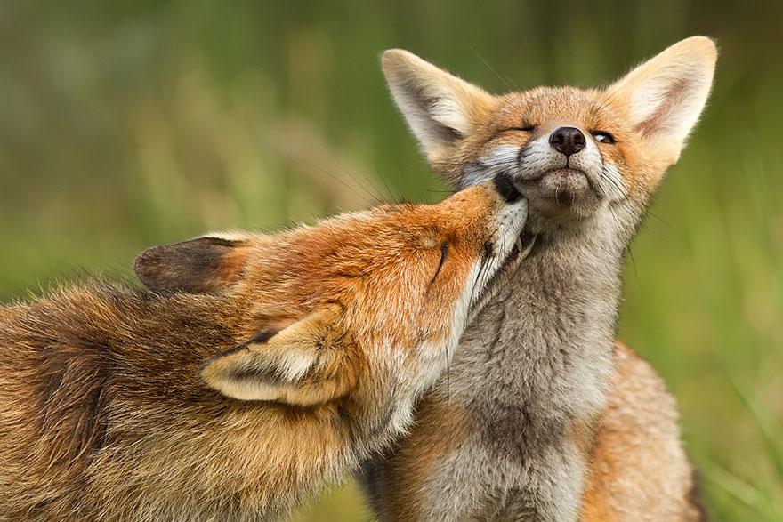 beautiful-fox-photos-7