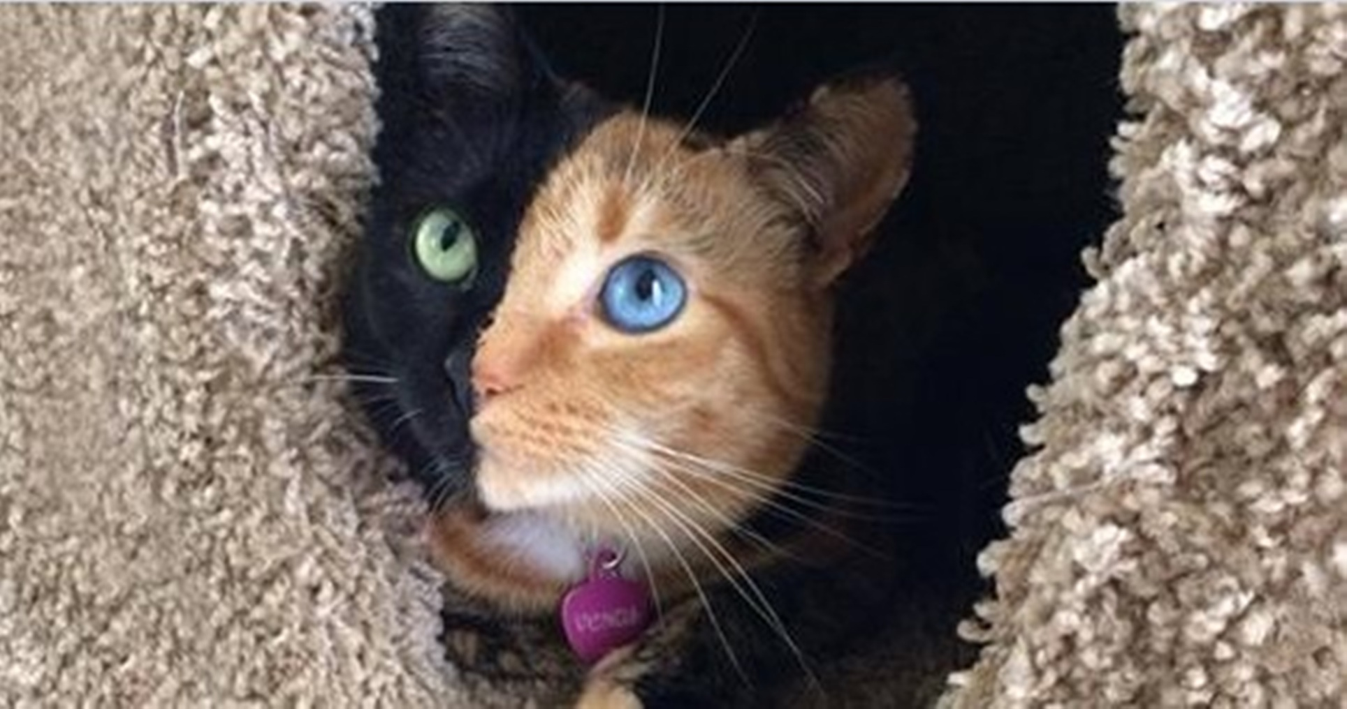 cat-two-faces