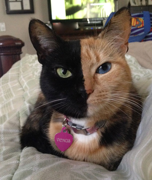 venus-two-faced-chimera-cat-10
