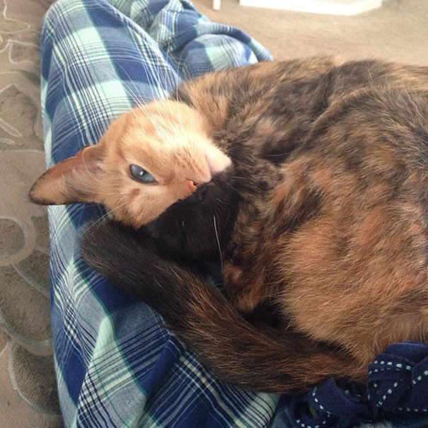 venus-two-faced-chimera-cat-11