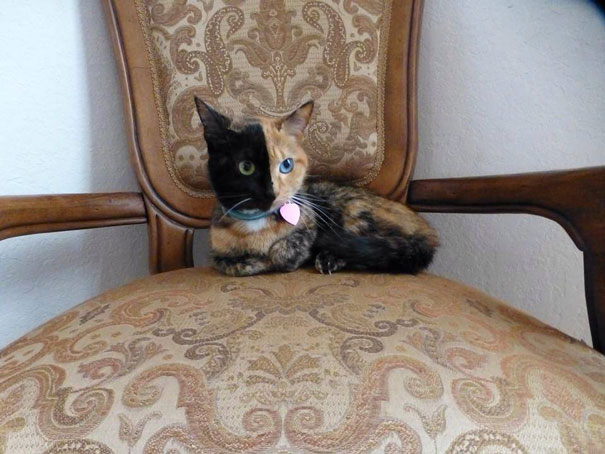 venus-two-faced-chimera-cat-12