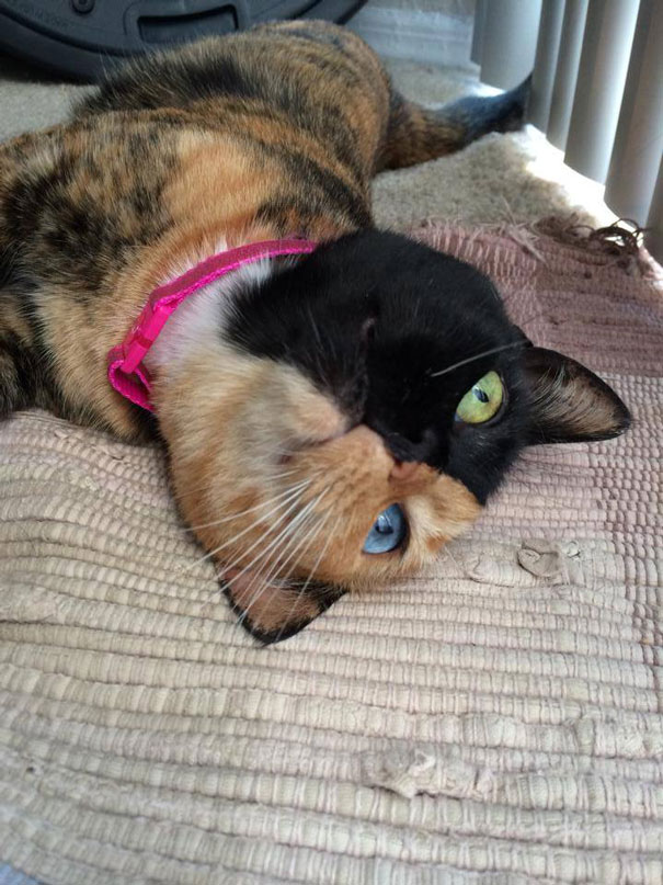 venus-two-faced-chimera-cat-13