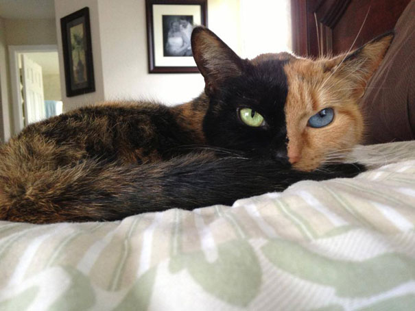 venus-two-faced-chimera-cat-2
