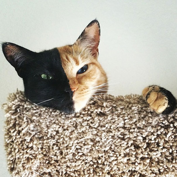venus-two-faced-chimera-cat-4
