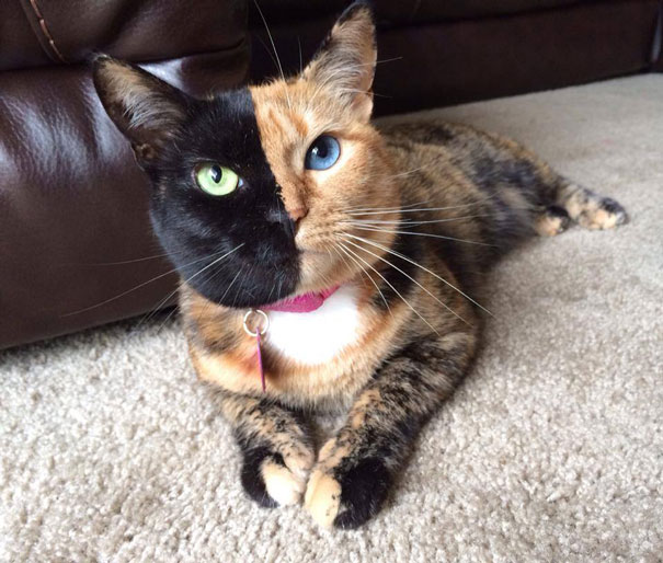 venus-two-faced-chimera-cat-5