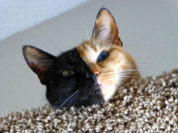 venus-two-faced-chimera-cat-8