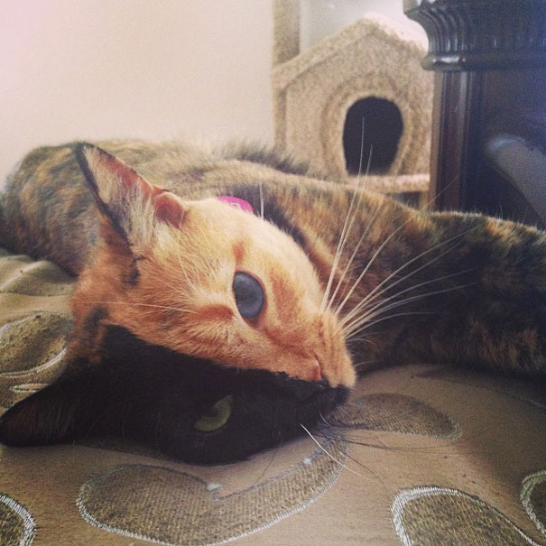 venus-two-faced-chimera-cat-9