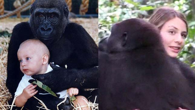 A Woman Reunites With A Gorilla After 12 Years. What Happens Next Will Tear Your Heart Up. thumbnail