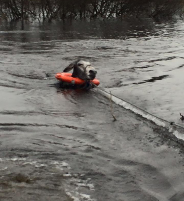 rescued-donkey-river-flood-ireland-1