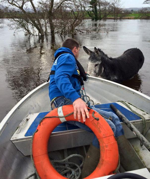 rescued-donkey-river-flood-ireland-3