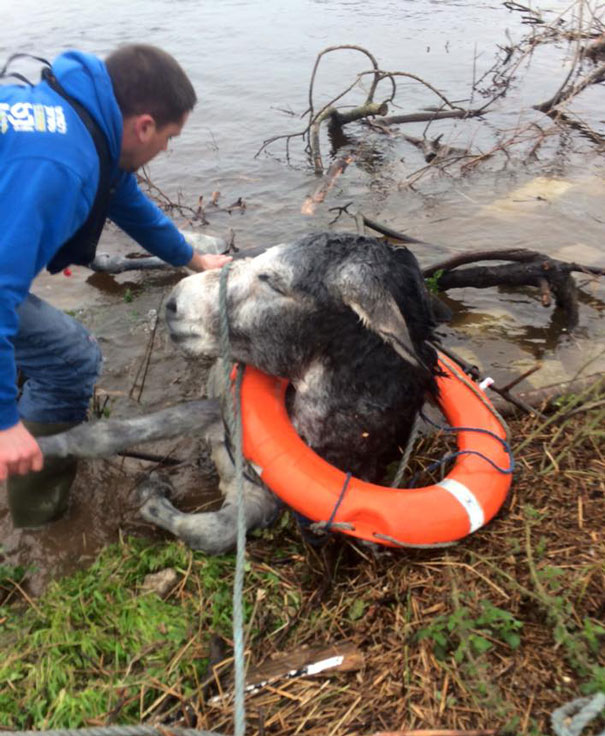 rescued-donkey-river-flood-ireland-4