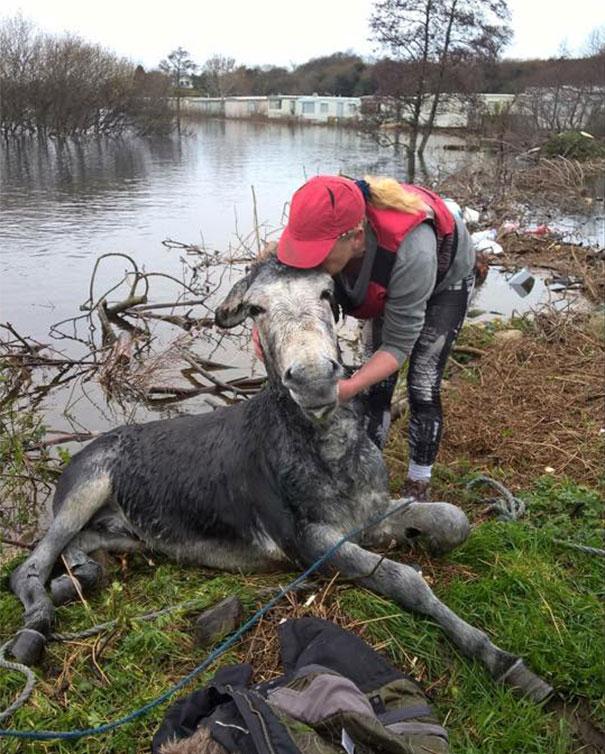 rescued-donkey-river-flood-ireland-6