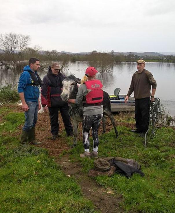 rescued-donkey-river-flood-ireland-8
