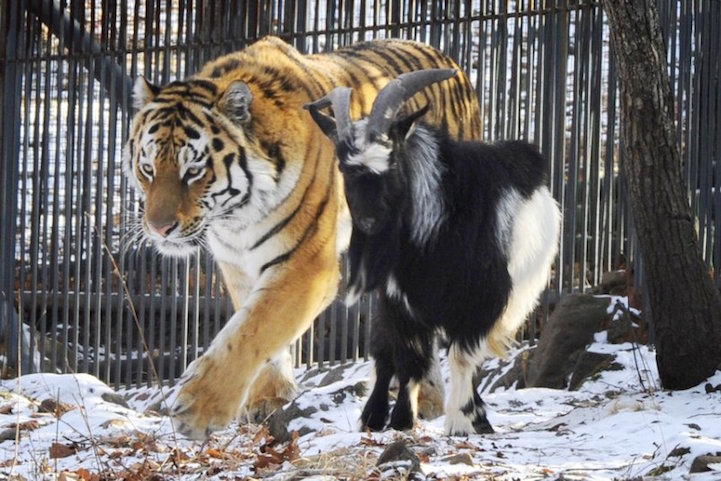 Tiger Is Still Friends with Goat Who Was Given to Him as Live Food Months Ago thumbnail