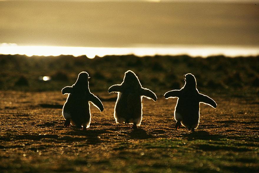 little-penguins