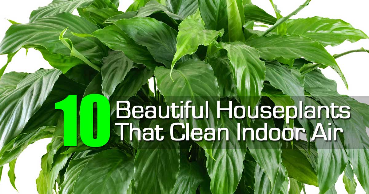 10 best house plants that purify indoor air for Where to buy indoor house plants