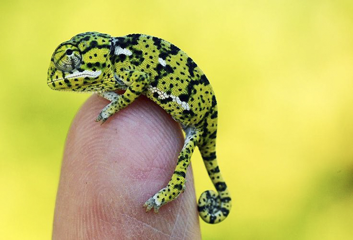 12 Chameleon Babies That Are Just Too Cute To Be Real – Number 6 Is The Most Adorable One thumbnail