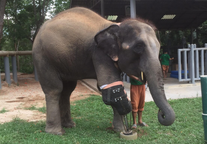 Surgeon Develops Huge Prosthetic Leg For Wounded Elephant thumbnail