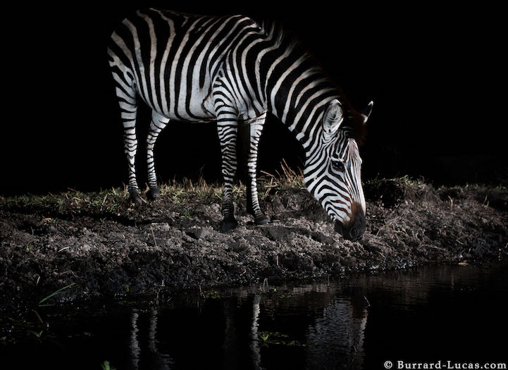 Remote Control Camera Captures Stunning Photos Of Wild African Animals At Night thumbnail