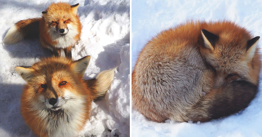 This Village In Japan Has The Cutest Residents You'll Ever Come Across: Foxes!
