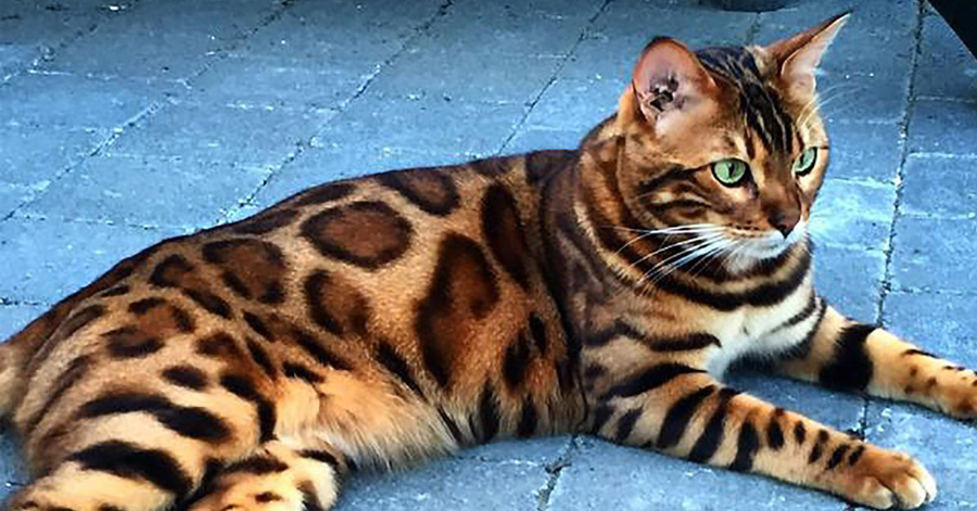 Majestic Bengal Cat Looks Like A Mix Of A Leopard And A Tiger thumbnail