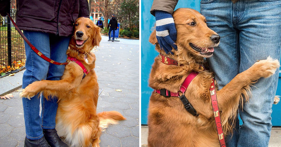 This Caring Golden Retriever Comforts Everyone He Encounters With A Loving Hug thumbnail