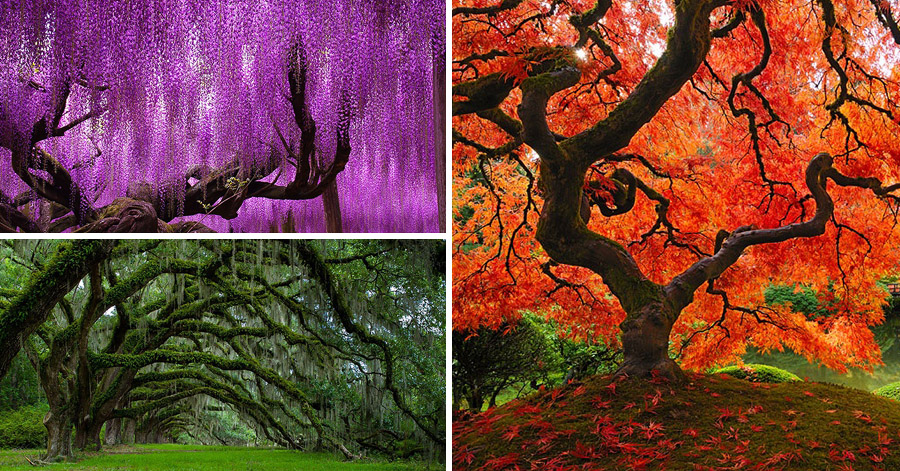 16 Incredibly Beautiful Trees From All Around The World. #8 Will Blow Your Mind! thumbnail