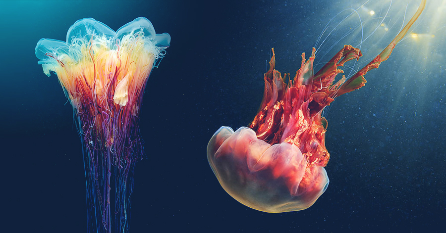 Underwater Photographer Reveals The Secret Life And Alien Beauty Of Jellyfish