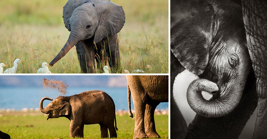 17 Adorable, Heart-Melting Baby Elephants thumbnail