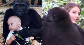 A Woman Reunites With A Gorilla After 12 Years. What Happens Next Will Tear Your Heart Up.